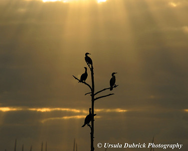 Cormorants at sunrise - Viera Wetlands, Viera, FL.