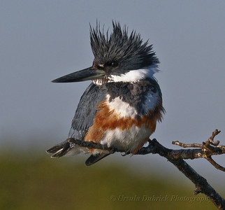 Belted Kingfisher-female at the Merritt Island National Wildlife Refuge