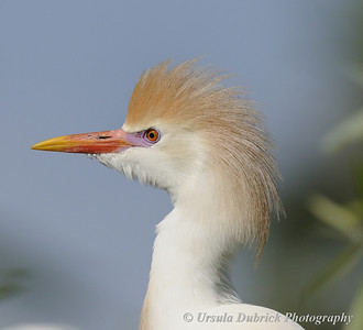 Cattle Egret - Breeding Colors - Gatorland, Orlando, FL