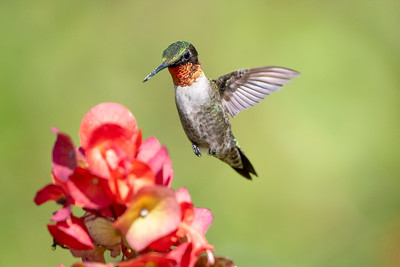 Male Ruby-throated Hummingbird