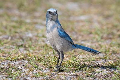 Curiosity of the Florida Scrub Jay