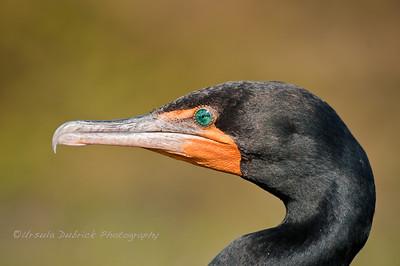 Crested Cormorant Portrait