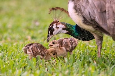 Peacocks - Mom and Peachicks (Indian Peafowl)