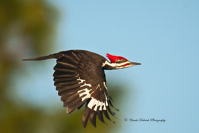 Pileated Woodpecker - Sebring, FL