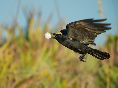 Crow with Sea Turtle Egg at the Beach