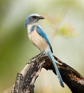 Florida Scrub Jay Profile