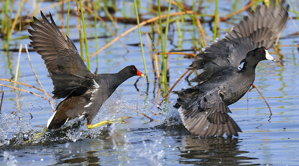 The Chase - Viera Wetlands - Viera, FL.  Common Moorhen chasing American Coot