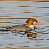 Common Merganser (female, Saratoga Springs, NY)
