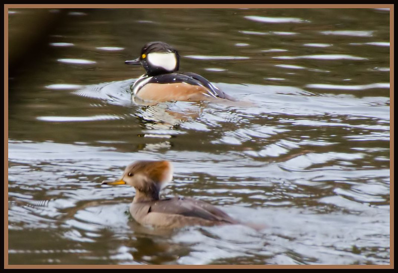 Hooded Mergansers (male and female, Saratoga Springs NY)