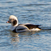 Long-tailed Duck, Cohoes, NY 2-2014