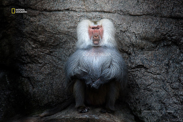 National Geographic Featured  Photo / Baboon / dsc_NGOB1
