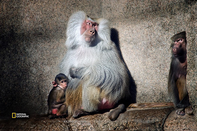National Geographic Featured  Photo / Baboon / dsc_NGOB2