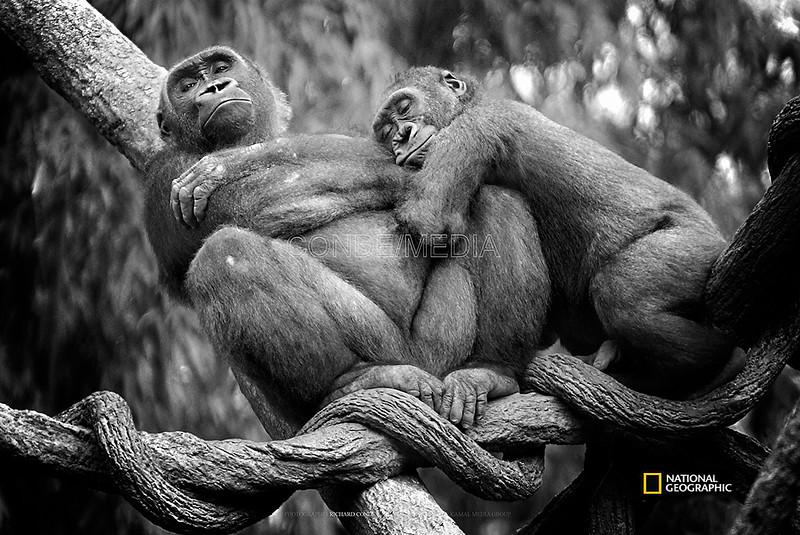 National Geographic Featured Photo /  Western Lowland Gorillas  / dsc_NGOG1