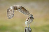 Burrowing Owlets - Learning to fly - not sure where to land