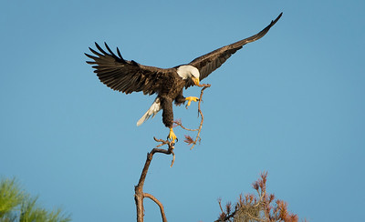 Breaking off the limb - Bald Eagle