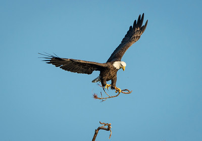 Flying off with the limb - Bald Eagle