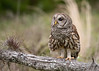 Barred Owl on a log