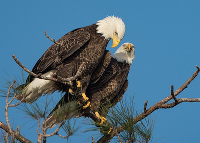 Bald Eagles - Manatee County, FL