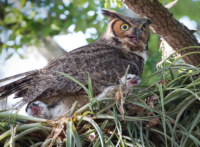Great Horned Owl Nest - 2 Babies with Mom