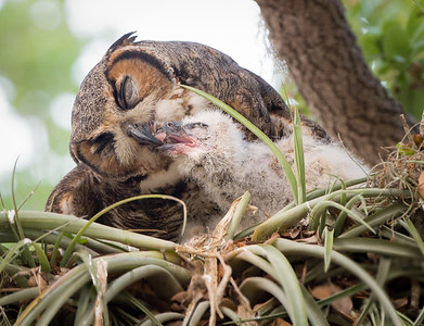 Dinner for Baby - Great Horned Owls