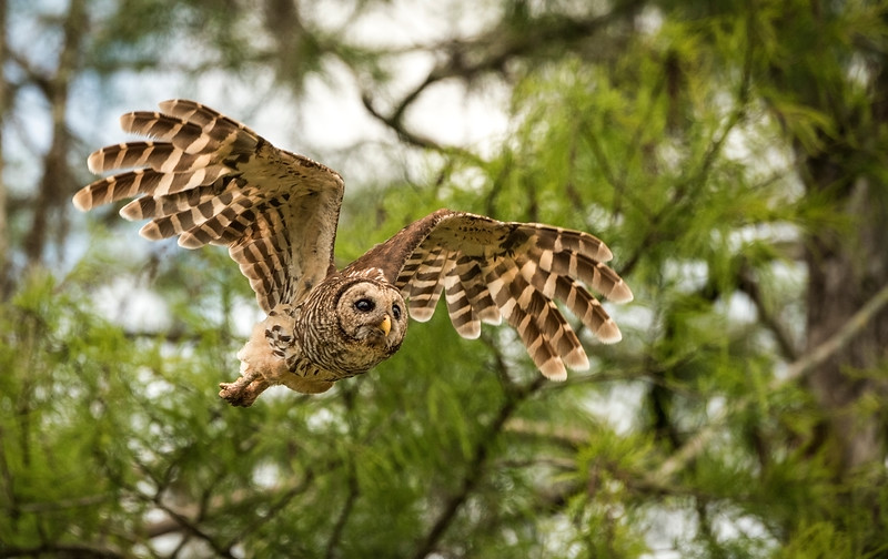 Barred Owl - Big Cypress National Preserve, FL