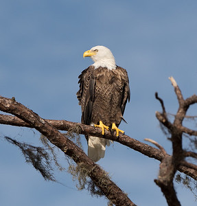 Bald Eagle, Manatee County, FL