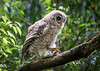Out on a Limb - Juvenile Barred Owl