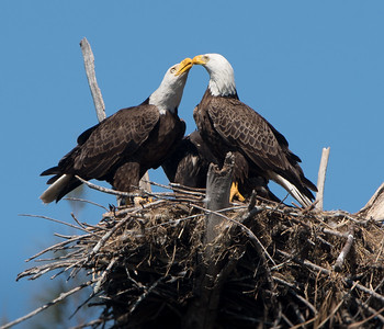 Bald Eagles, Mated Pair