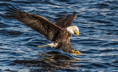 Talons Ready - Bald Eagle