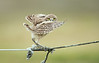 Burrowing Owlet - The balancing act