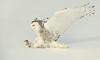 Snowy Owl - The Kill
