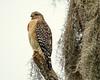Standing Guard - Red-Shouldered Hawk