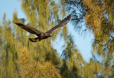 Young bald eagle - a few days after fledging the nest