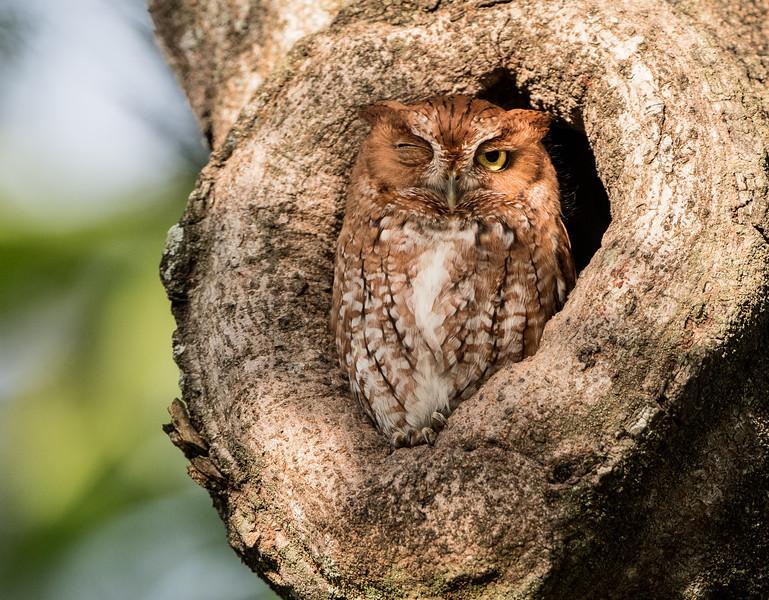 Wink of an Owl - Eastern Screech Owl, Red Morph
