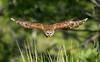 In Flight - Barred Owl