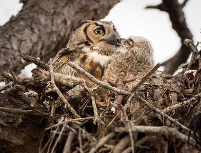 Kiss for Mom - Great Horned Owl