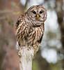Eye to eye contact - Barred Owl