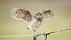 Burrowing Owlet - The high wire act