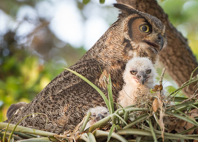 Great Horned Owl Family - Mom and 2 babies