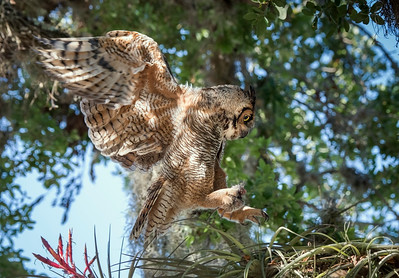 Great Horned Owl - Returning to the Nest