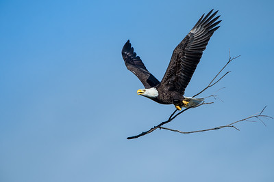 Nesting Material - Bald Eagle