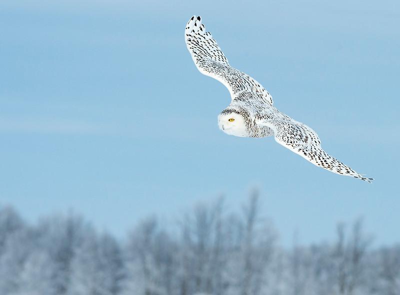 Blue Sky Flight - Snowy Owl