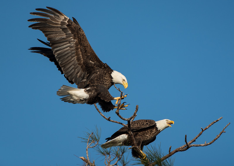 Bald Eagles - Mated Pair