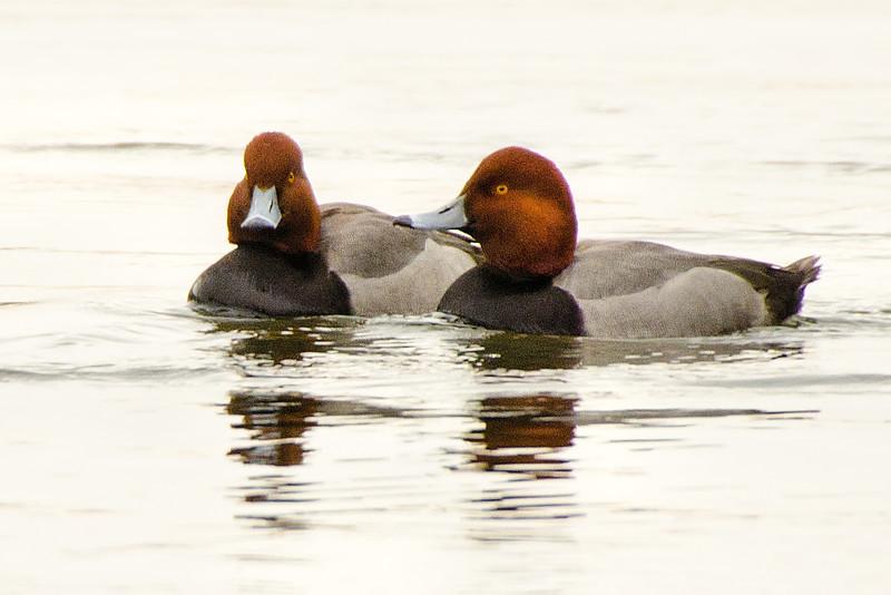 2 Male Redheads, near Cresent Power Plant, 1-31-14