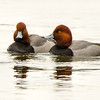 2 Male Redheads, near Cresent Power Plant, 1-31-14