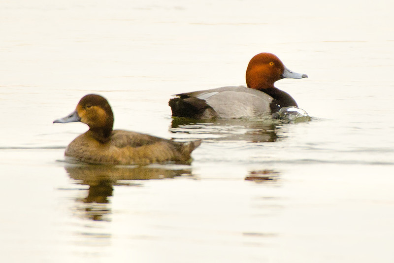 Pair of Redheads, near Cresent Power Plant, 1-31-14