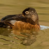 Ring-necked Duck (female) Ft. Miller, NY 4/14