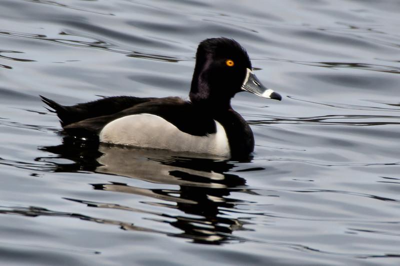 Ring-necked Duck Ft. Miller, NY 4/14