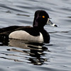 Ring-necked Duck Ft. Miller, NY 4/14