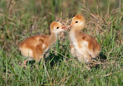 Sandhill Crane Colts